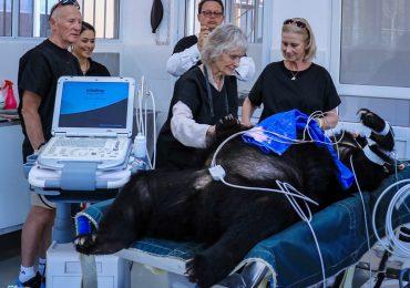 Nữ hiệp sĩ Anh Quốc đến Việt Nam nhận chú gấu 15 tuổi làm con