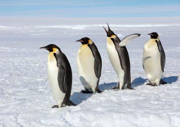 Bộ ảnh đàn chim cánh cụt hoàng đế 'xâm chiếm' cả Nam Cực