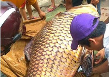 Vụ đưa cá hô lên TP.HCM xẻ thịt: Có thể bị phạt 1 tỷ đồng