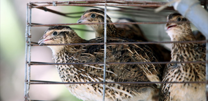 Ứng dụng công nghệ vào nuôi chim cút: Tự hào của hàng Việt Nam
